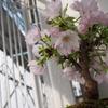 我が家の桜が満開になりました!