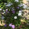 ニオイバンマツリとハコネウツギの花