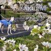 桜シーズンの到来