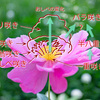 シャクヤクの花の咲き方