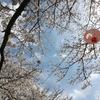 満開の桜@西予宇和運動公園