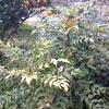 草原ポタジェ化計画 ~ヒイラギナンテンが繁っています~