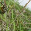 カナブン:Drone beetle