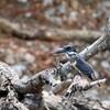 オオヤマセミ(Giant Kingfisher)
