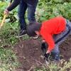 子どもは楽しいじゃがいも掘り