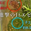 レッドビーシュリンプ稚エビの生存率を上げるコツと孵化後3日の様子