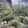 ヒメムカシヨモギの茎は枝だ!