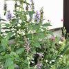 夏花壇のリニューアルとアガスターシェ