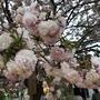 大阪造幣局 桜の通り抜けを通り抜けてみました