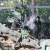 🦍リキ♂生後1年1ヶ月@上野動物園