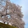 春の京さんぽ 背割堤の桜トンネルから蹴上インクライン、哲学の道へ