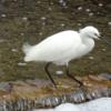 遊歩道で又も会えた白鷺