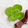 4月28日は「四つ葉の日」~四葉のクローバーの見つかる確率は?(*´▽`*)~