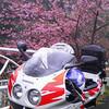 春の足音・・・・河津桜