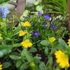 一年草で色を足す〜青いロベリア ✕ 黄色いサンビタリア