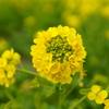 第一なぎさ公園の菜の花
