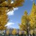 仙台市内、イチョウ並木が綺麗です