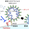 【コロナウイルス】BCGがCOVID-19の重症化を抑制する可能性について