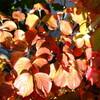 自宅でも紅葉が真っ盛り
