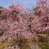 京都)城南宮のしだれ梅と椿