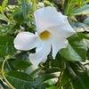 先月,新規開店したフラワーショップを発見.店頭にあった白花のサンパラソルを購入.時期としては遅れていましたが,その後すくすく成長.美しい花で楽しませてくれています.しかし,冬越しできるかどうか?それが問題.キョウチクトウ科の花たち1 マンデビラ