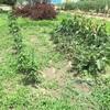 雑草の効率的なとり方