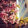 mixiシーズナル企画「桜」のお知らせ+ABテストについて