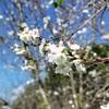 いい天気、昼休みに寒桜を見てきた