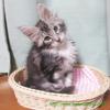 メインクーンを飼ってみての感想:猫ばか全開♪シルルの成長に目頭を熱くする