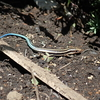 青い尻尾のトカゲ カナヘビとニホントカゲのどちら?