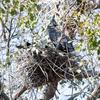 アオサギの巣を乗取って繁殖するカワウ