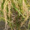 稲穂の穂発芽と多数のスズメが…。最後にびっくり(^^;