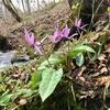 泉ヶ岳のミズバショウ群生地とカタクリの花を見てきました。