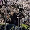21 , Spring colors 4 … 孤高の雄姿
