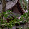 京都・梅ヶ畑 - 沈丁花の香り漂う高山寺石水院