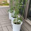 i-smartの家庭菜園 コンパニオンプランツを植えてみる