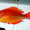 「派手な魚は不味い」のか!?敷島花鯛を実食!