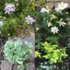 裏庭に植えた宿根草②~秋植えしたおすすめ宿根草11種!