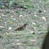 冬でも鳴くトラツグミ