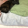 甲斐犬サンの寝相あれこれ、の巻〜熟睡出来リャァイイジャンヨッ(● ˃̶͈̀ロ˂̶͈́)੭ꠥ⁾⁾