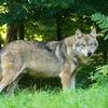 オオカミの特徴:web動物図鑑