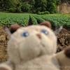 じゃがいも畑で穴をほる!?ピグパパ、大雨の後のひと仕事