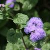 アゲラタム(霍香薊) - 今日の誕生花 -