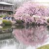 ヒヨドリと桜 cherryblossom_&_Hypsipetes