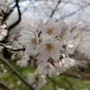 「桜とつばめと」の話