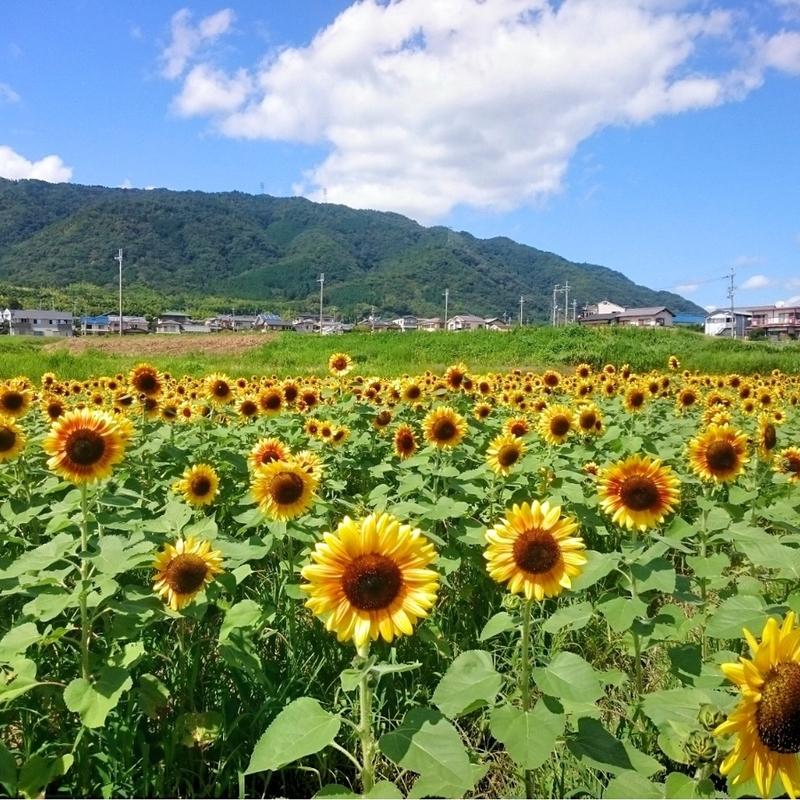 【2019年】ひまわり畑を京都で見たい!時期別おすすめ<3選>