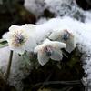 一足早い春の訪れ。雪の中から花を咲かせる山野草8選