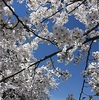 弘前公園の桜・・・撮影ポイントのお知らせ!