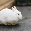 【ざつだん!】小学校の飼育小屋にいるウサギの末路について