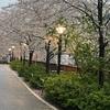 今年の桜ははかなくも美しい…